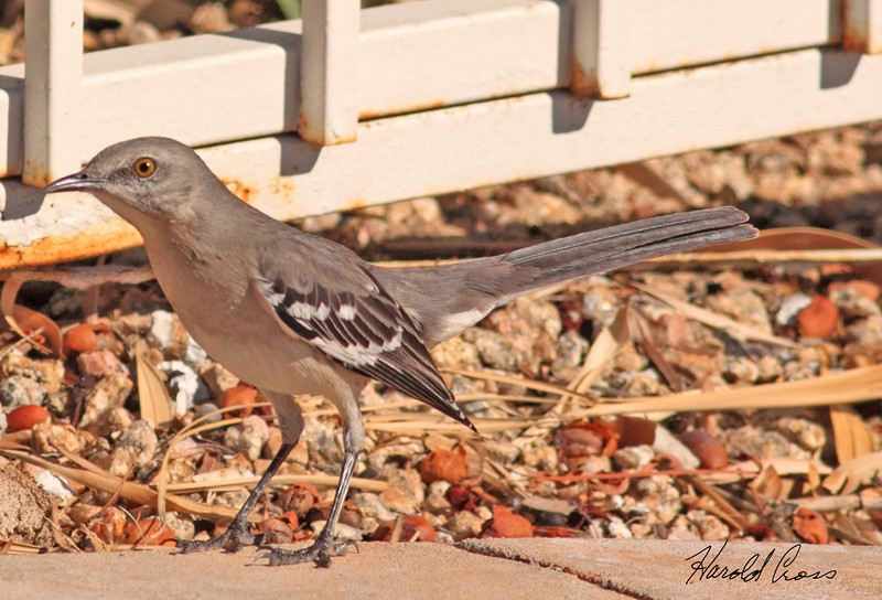 A Northern Mockingbird taken Jan 24, 2010 in Phoenix, AZ.