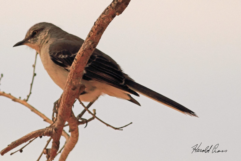 A Northern Mockingbird taken May 15, 2011 near Portales, NM.
