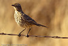 A Sage Thrasher taken Oct. 31, 2011 near Muleshoe, TX.