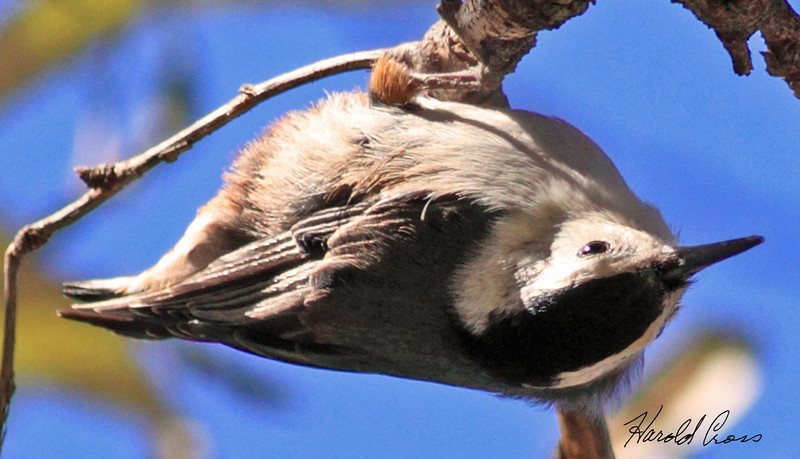 A White-breasted Nuthatch taken Feb 15, 2010 in Madera Canyon, AZ.
