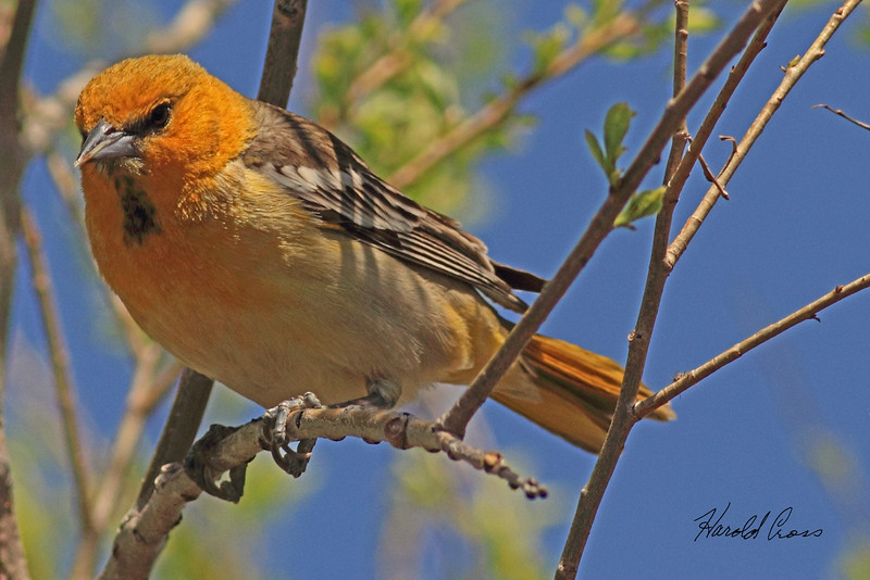 A Bullock's Oriole taken May 9, 2011 at Barr Lake State Park near Denver, CO.