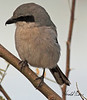 A Loggerhead Shrike taken Feb 5, 2010 in Gilbert, AZ.