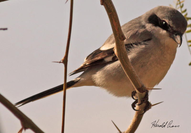 A Loggerhead Shrike taken Feb 10, 2010 in Gilbert, AZ.