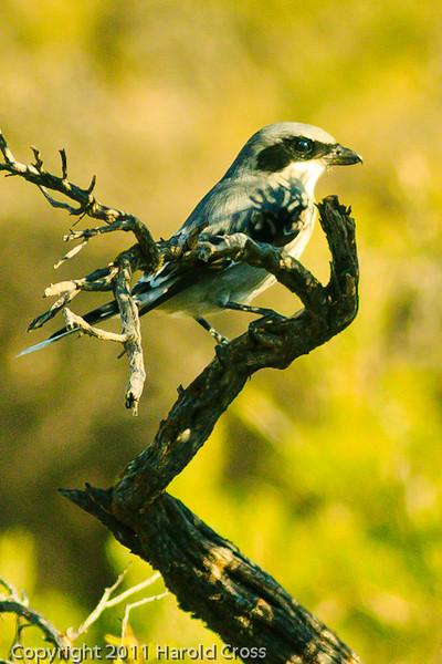 A Loggerhead Shrike taken Oct. 12, 2011 near Fruita, CO.