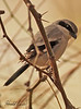 A Loggerhead Shrike taken Feb 4, 2010 in Gilbert, AZ.