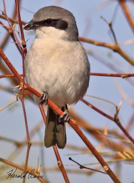 A Loggerhead Shrike taken Feb 11, 2010 in Gilbert, AZ.