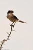A Loggerhead Shrike taken July 20, 2011 near Pine Springs, TX.
