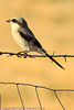 A Loggerhead Shrike taken Sep. 8, 2011 near Fruita, CO.