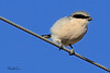 A Northern Shrike taken Oct 4, 2010 near Fort Sumner, NM.