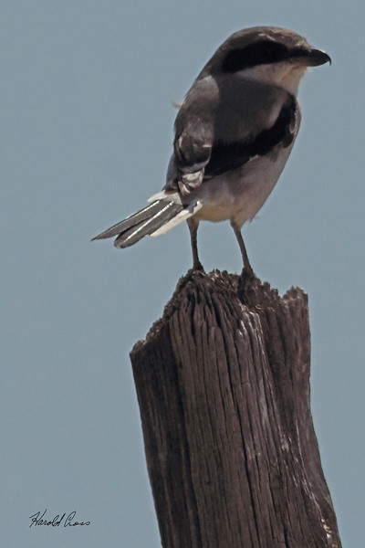 A Northern Shrike taken Oct. 2, 2010 near Muleshoe,  TX.