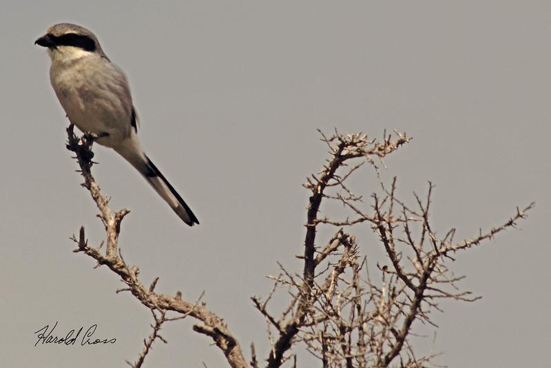 A Northern Shrike taken April 13, 2011 near Fruita, CO.