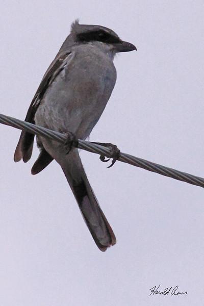 A Northern Shrike taken Aug 23, 2010 near Fruita, CO.