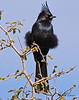 A Phainopepla taken Feb 1, 2010 in Apache Junction, AZ.