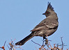 A Phainopepla taken Feb 12, 2010 in Apache Junction, AZ.