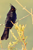 A Phainopepla taken Feb. 15, 2012 in Tucson, AZ.