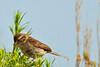 An American Tree Sparrow taken July 13, 2011 near Gunnison, CO.