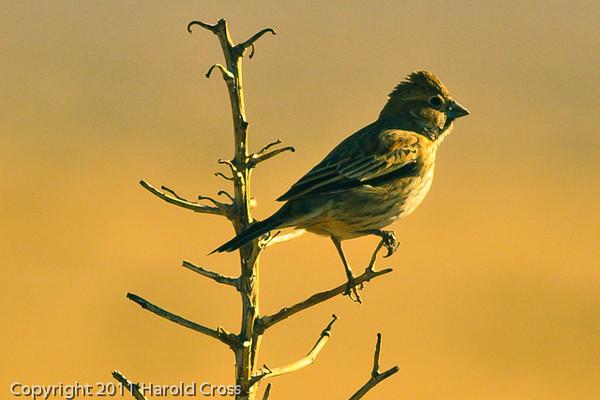 A Baird's Sparrow taken Oct. 29, 2011 near Floyd, NM.