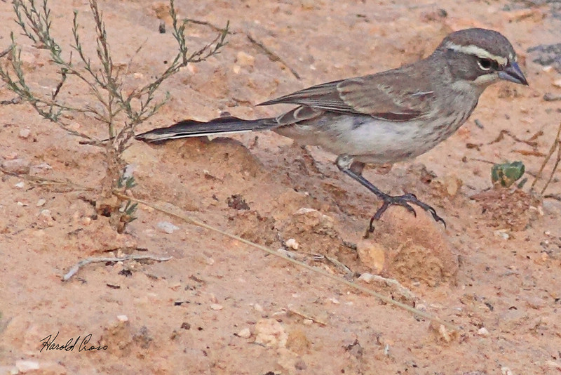 A Black-throated Sparrow taken Aug 23, 2010 near Fruita, CO.