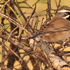 A Black-throated Sparrow taken Jan 31, 2010 in Apache Junction, AZ.