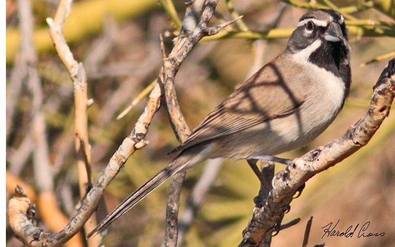 A Black-throated Sparrow taken Feb 12, 2010 in Apache Junction, AZ.