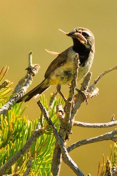 A Black-throated Sparrow taken Aug. 16, 2011 near Fruita, CO.