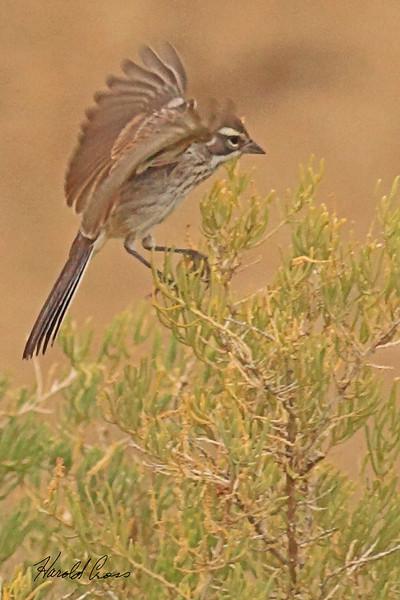A Black-throated Sparrow taken Aug 21, 2010 near Fruita, CO.