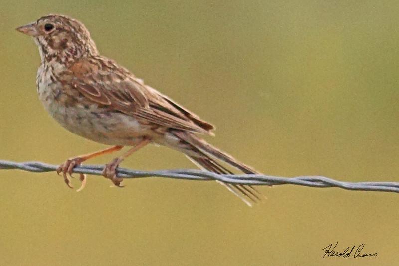 A Brewer's Sparrow taken July 8, 2010 near Fruita, CO.