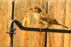 A Brewer's Sparrow taken Aug. 30, 2011 in Fruita, CO.