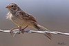 A Brewer's Sparrow taken Aug 23, 2010 near Fruita, CO.