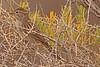 A Brewer's Sparrow taken Sep 6, 2010 near Fruita, CO.