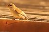 A Brewer's Sparrow taken July 13, 2011 near Raton, NM.