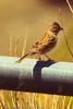 A Brewer's Sparrow taken Sep. 15, 2011 near Fruita, CO.