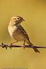 A Brewer's Sparrow taken Sep. 2, 2011 near Fruita, CO.