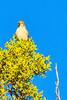 A Brewer's Sparrow taken Aug. 16, 2011 near Fruita, CO.