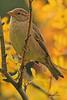 A Brewer's Sparrow taken Sep. 25, 2010 near Bozeman, MT.
