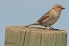 A Brewer's Sparrow taken May 2, 2011 near Fruita, CO.