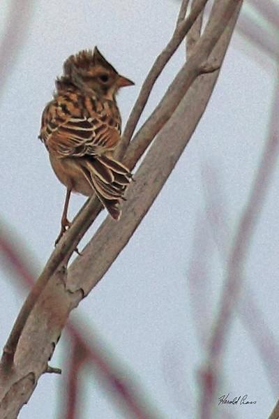 A Cassin's Sparrow taken Oct 2, 2010 near Portales, NM.