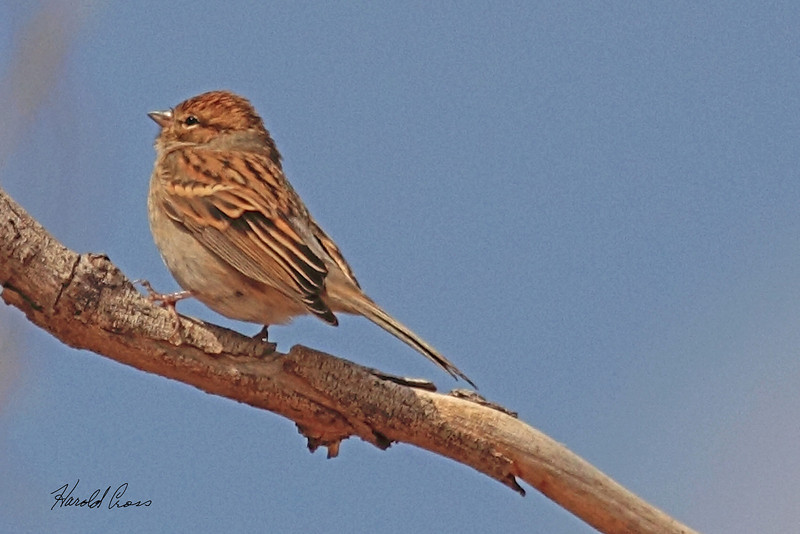 A Cassin's Sparrow taken Oct 2, 2010 near Portales, NM.