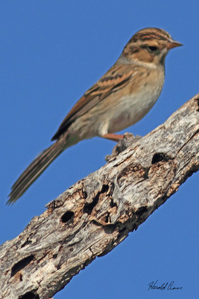 A Chipping Sparrow taken Oct. 1, 2010 near Portales, NM.