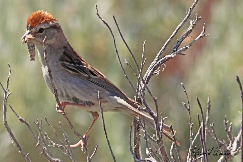 A Chipping Sparrow  taken Jun 14, 2010 near Fruita, CO.