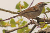 A Chipping Sparrow taken May 9, 2011 at Barr Lake State Park near Denver, CO.