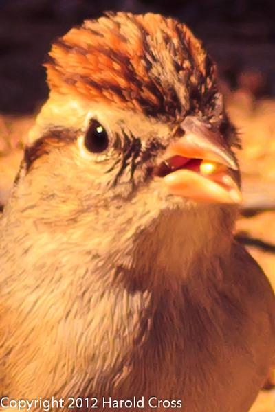 A Chipping Sparrow taken Feb. 27, 2012 in Madera Canyon, AZ.