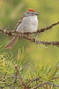 A Chipping Sparrow taken May 25, 2010 near Bozeman, MT.