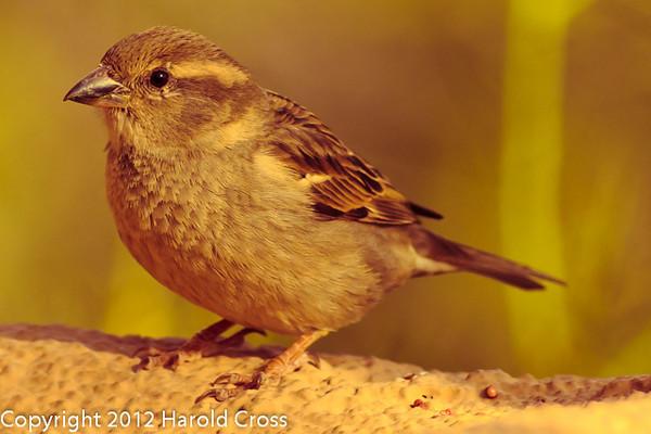 A Chipping Sparrow taken Feb. 6, 2012 in  Tucson, AZ.