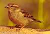A Chipping Sparrow taken Feb. 6, 2012 in  Tucson, AZ.