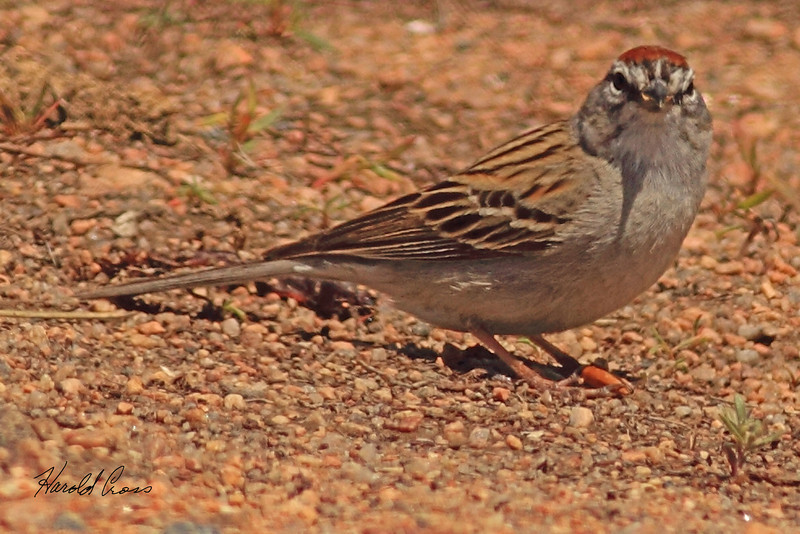 A Chipping Sparrow taken May 13, 2011 near Denver, CO.