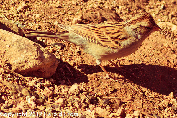 A Chipping Sparrow taken Feb. 27, 2012 in Madera Canyon, AZ.