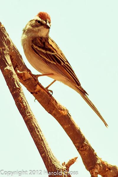A Chipping Sparrow taken April 28, 2012 near Portales, NM.