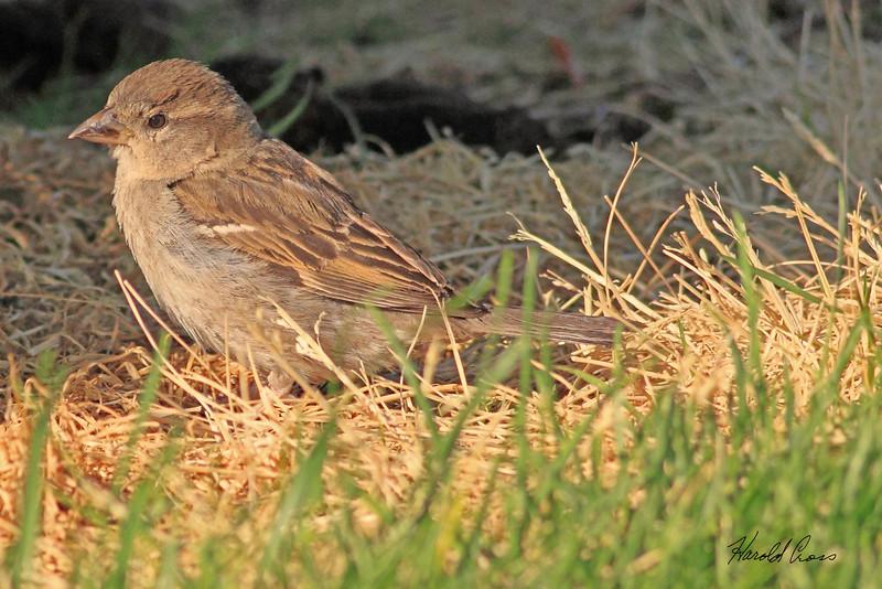 A Clay-colored Sparrow taken Jun 22, 2010 near Fruita, CO.
