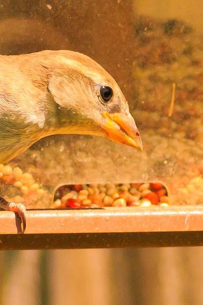A Clay-colored Sparrow taken Aug. 20, 2011 near Fruita, CO.